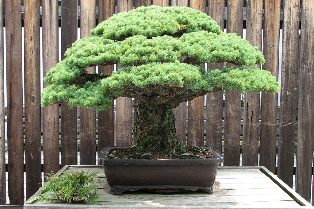 1024px-Japanese_White_Pine,_1625-2007