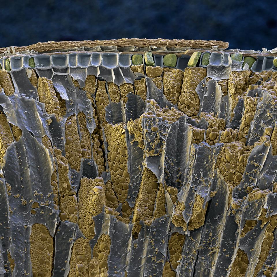 Nahrungsmittel: Weizenkorn, Bruch (Triticum) Das Bild zeigt den Schichtaufbau eines Weizenkorns im Bruch. In der Mitte des Bildes sind die Stärkekörner (gelblich), umhüllt von Zellmembranen (grau), zu sehen. Darüber liegt eine eiweisshaltige Schicht (grün). Weizen ist ein Gras, gehört zu den ältesten Kulturpflanzen und ist z.Zt das auf der Welt meist angebaute Getreide. Er dient hauptsächlich zur Herstellung von Brot und Teigwaren.  REM- 180x